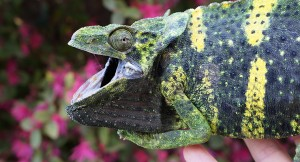 Stressed Meller's Chameleon