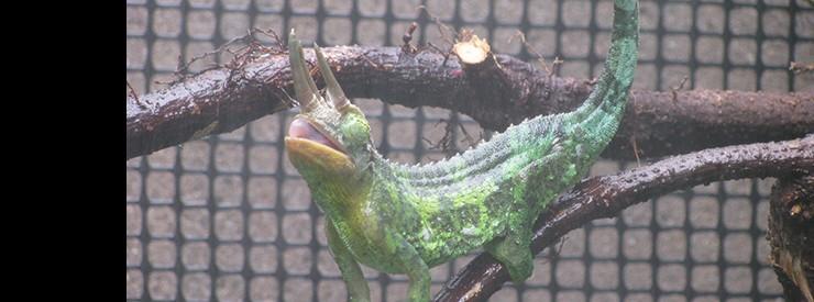 Chameleon drinking water
