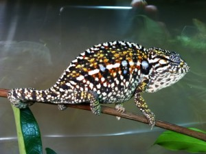Carpet Chameleon Gravid