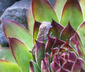 Carpet Chameleon Baby