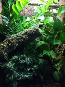 Carpet Chameleon Naturalistic Vivarium