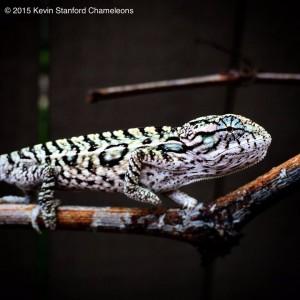 Carpet Chameleon male