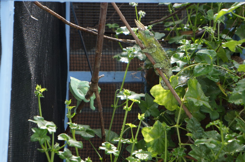 Jackson's chameleon in an outdoor cage