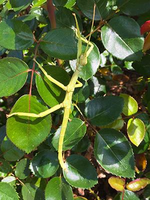 Diapherodes gigantea, Green Bean Insect, juvenile