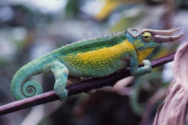Jackson's Chameleon male jacksonii