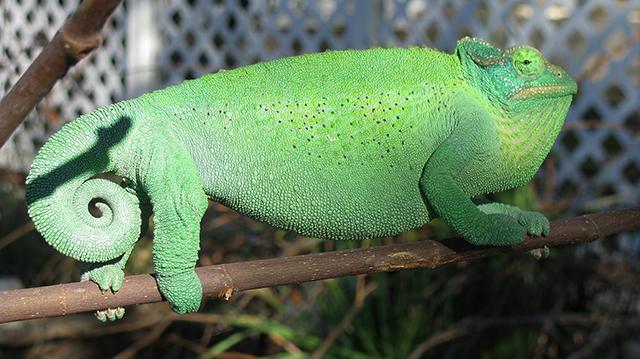 Jackson's Chameleon female xantholophus