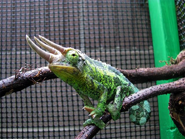 Jackson's Chameleon male xantholophus