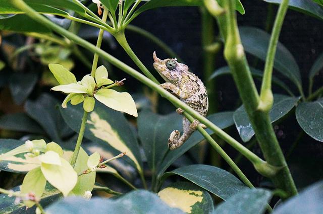 Jackson's Chameleon female merumontanus
