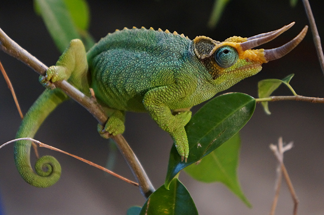 Male jackson chameleon - photo#13