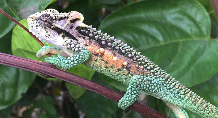 Bradypodion thamnobates chameleon