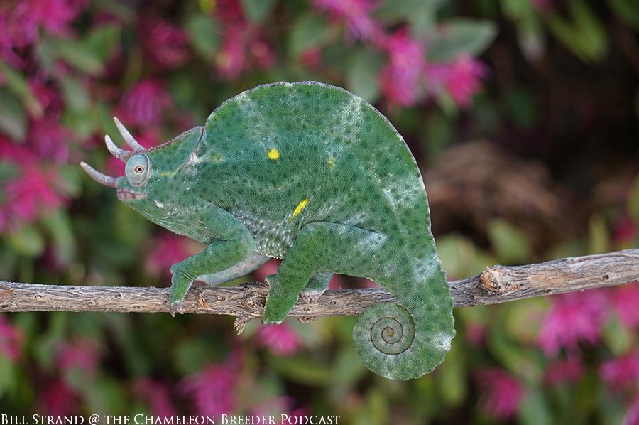 deremensis chameleon