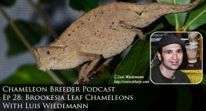 Brookesia supercilliaris chameleon