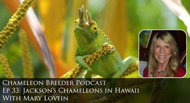 Jackson's Chameleons in Hawaii