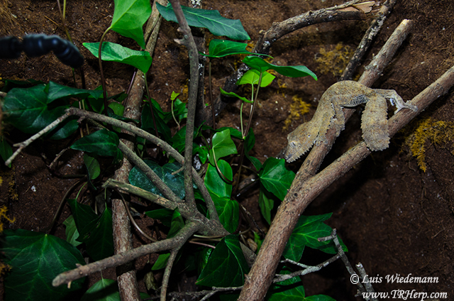 Uroplatus in Dragon Strand cages