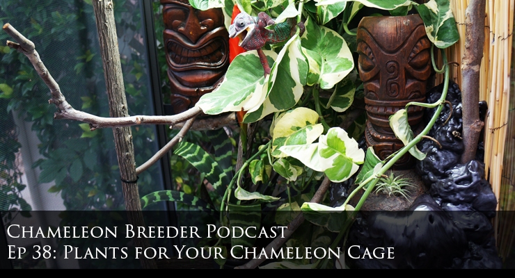 Plants for your chameleon cage