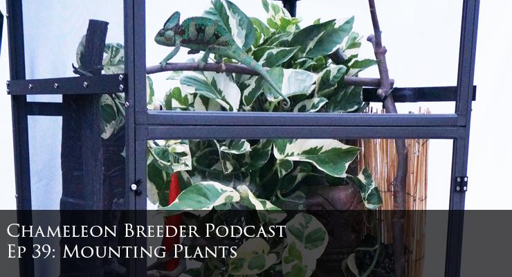 chameleon cage plants