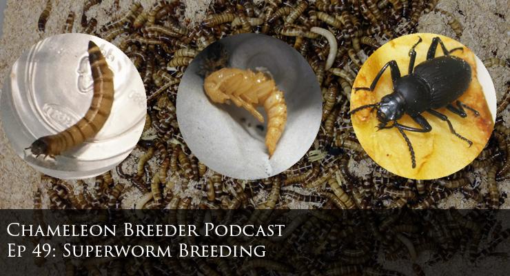 super worms for chameleon food