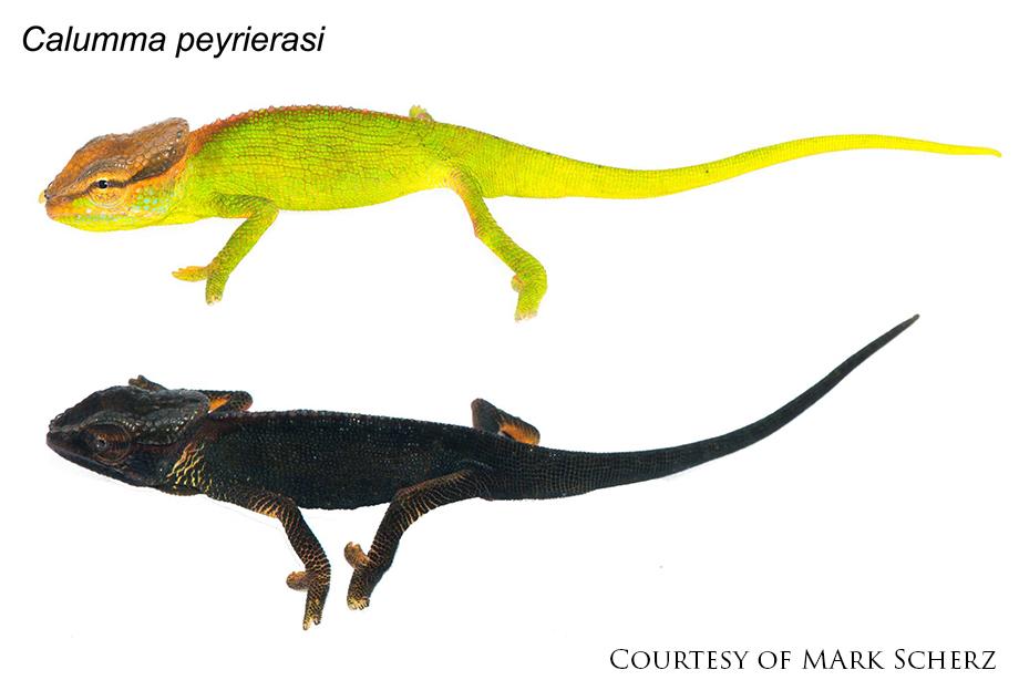 Calumma peyrierasi chameleon