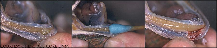 Chameleon mouth rot