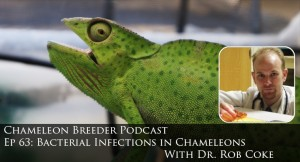 Bacterial infections in chameleons