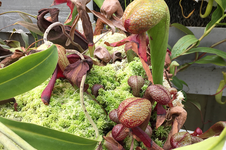 cobra pitcher plant