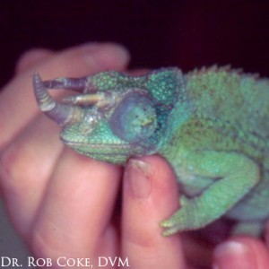 Male Jacksons Chameleon with swollen eyes.