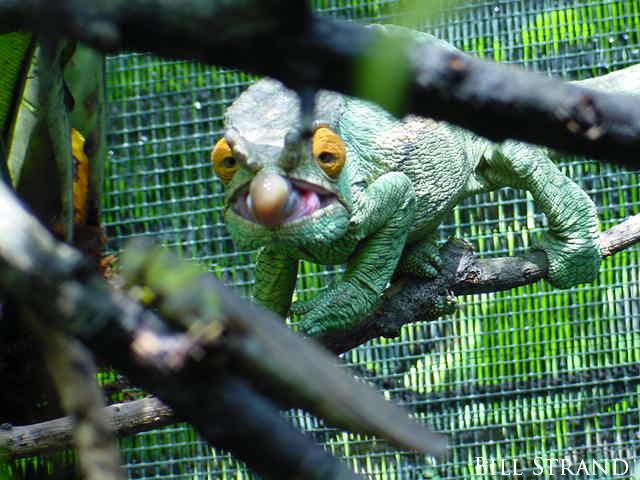 A Parson's Chameleon (Calumma parsonii) hunting a locust