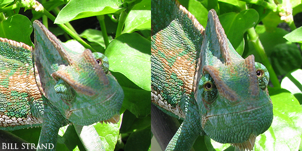 Veiled Chameleon showing eyes looking different directions