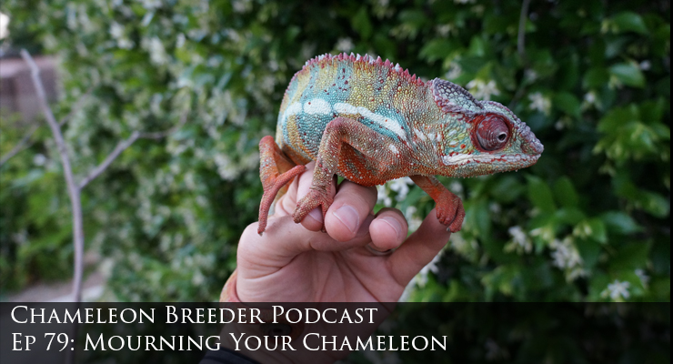 Elderly panther chameleon