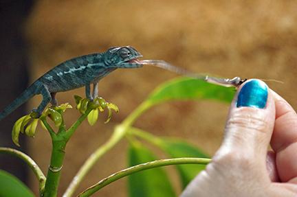 Chameleon eating from hand