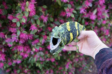 Mellers Chameleon giving warnings