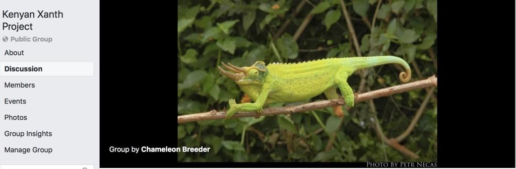 Kenyan xantholophus jackson's chameleon