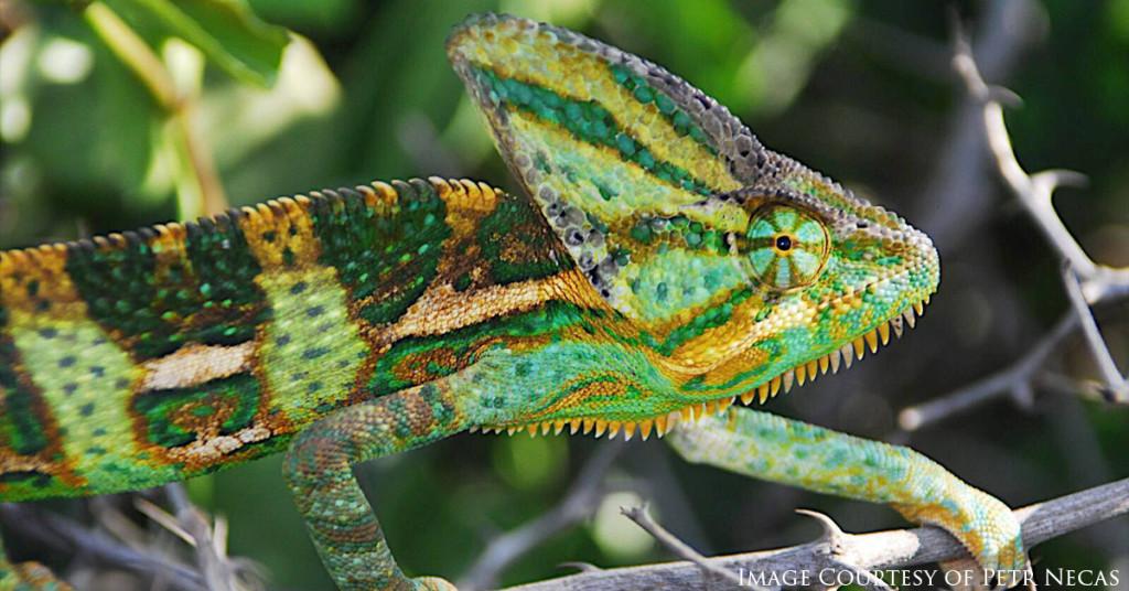 Veiled Chameleon, Chameleon calyptratus