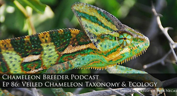 Veiled Chameleon Chameleon calyptratus