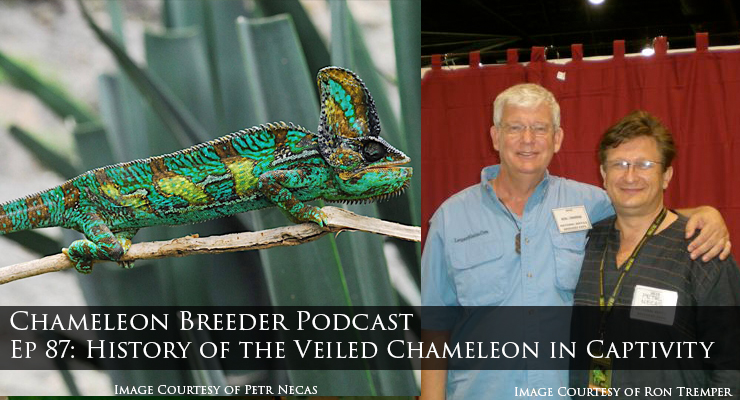 The veiled Chameleon in captivity