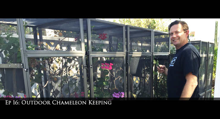 Outdoor Chameleon Keeping
