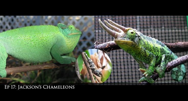 Jackson's Chameleons