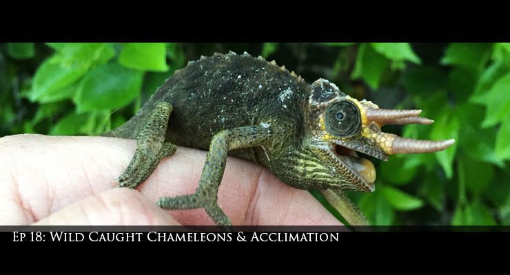 Mt. Meru jacksons chameleon