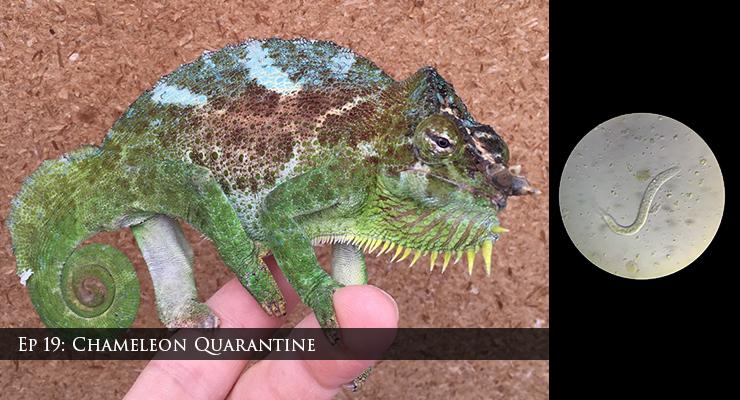quadricornis