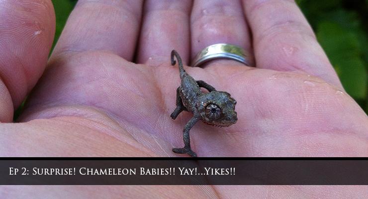 Surprise Baby Chameleons