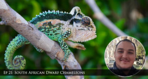 Bradypodion chameleons