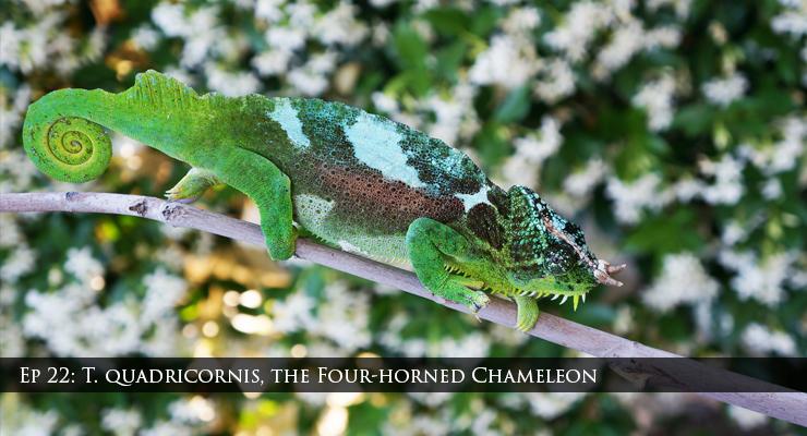 quadricornis chameleons