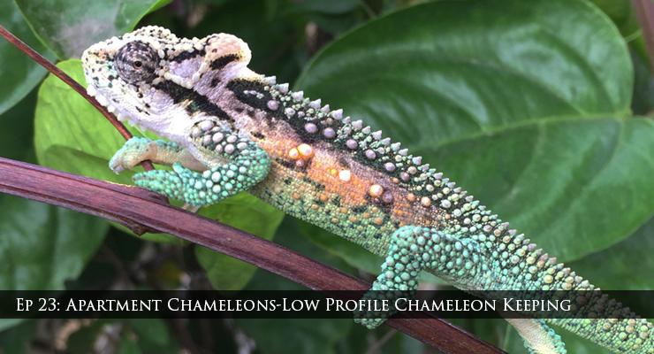apartment chameleons