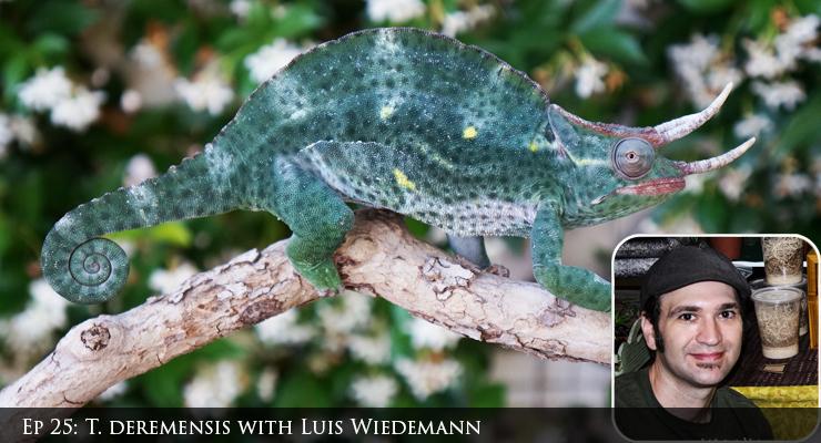 deremensis chameleons