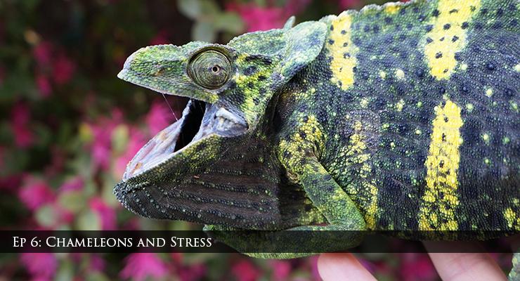 Chameleons and stress