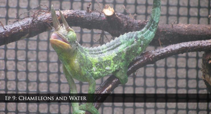 jacksons chameleon drinking