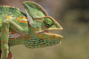 Female Veiled Chameleon in Yemen by Martin Wensche