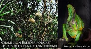 Veiled Chameleon Feeding
