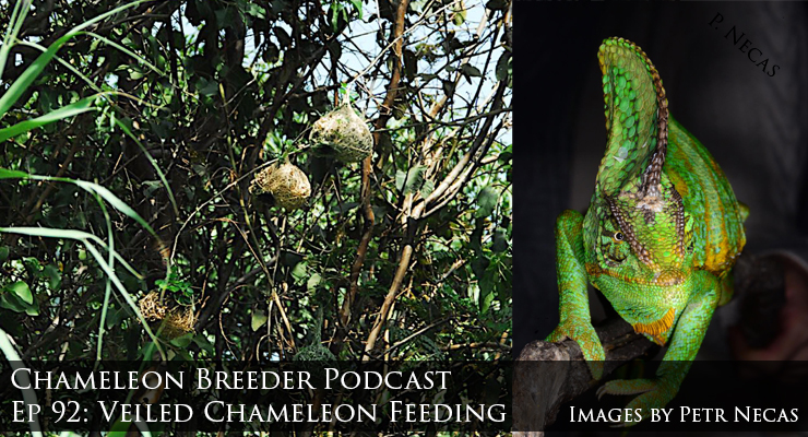 Veiled Chameleon Feeding
