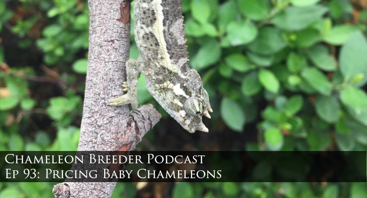 Baby Jackson's Chameleon